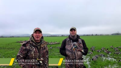 Our scouting, decoying and blind setup tips are sure to help you get on large flocks of small geese.