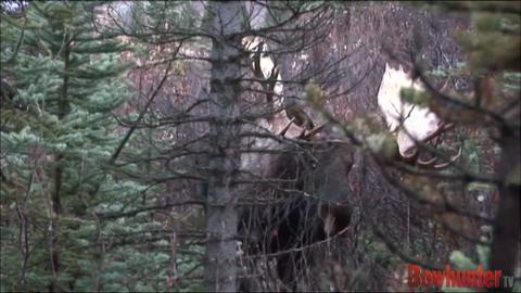Moose Attack!!!